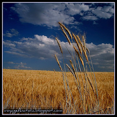 Golden Fields on the Way to Gordium City of Ki...
